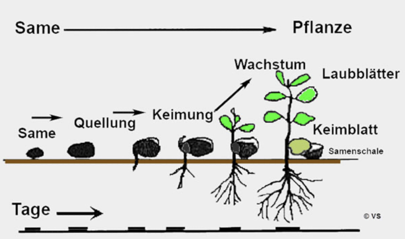 Wachstum_-_Experimente_Biologi